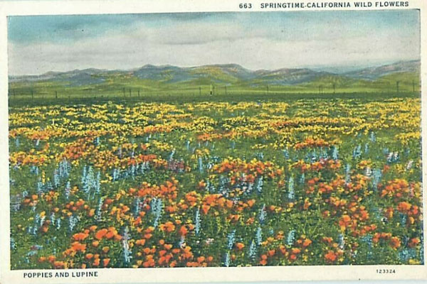 A Vintage Postcard Showing a Poppy & Lupine Super Bloom in California