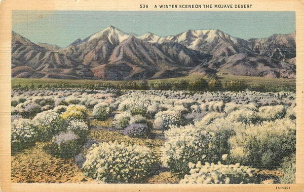 Vintage Postcard of a Super Bloom on the Mojave Desert