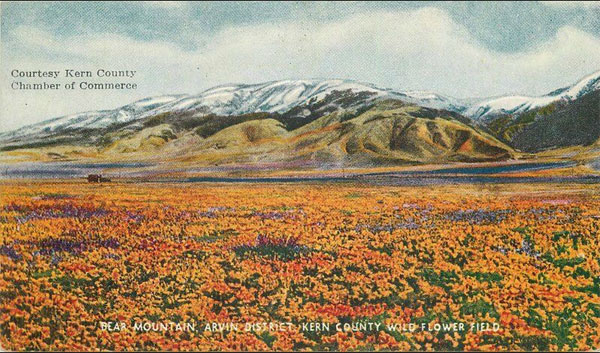 Vintage Postcard Showing Kern County Wildflower Field