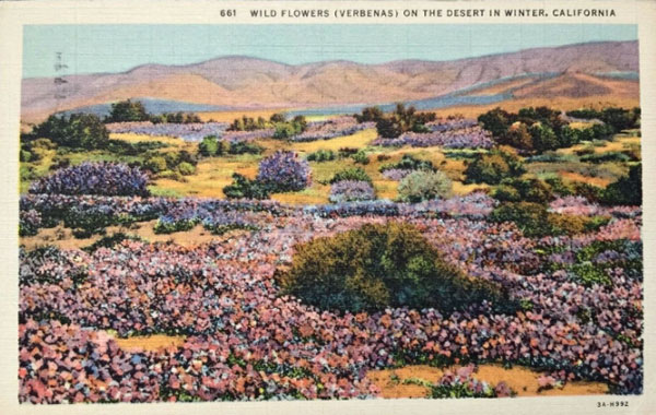 Vintage Postcard of Wild Verbenas in the California Desert